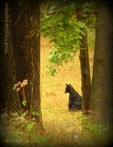 Bear at Watoga State Park near Hillsboro, WV, Pocahontas County, Allegheny Mountains Region