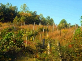 Vineyard on Fisher Ridge near Liberty, WV, Putnam County, Mid-Ohio Valley Region