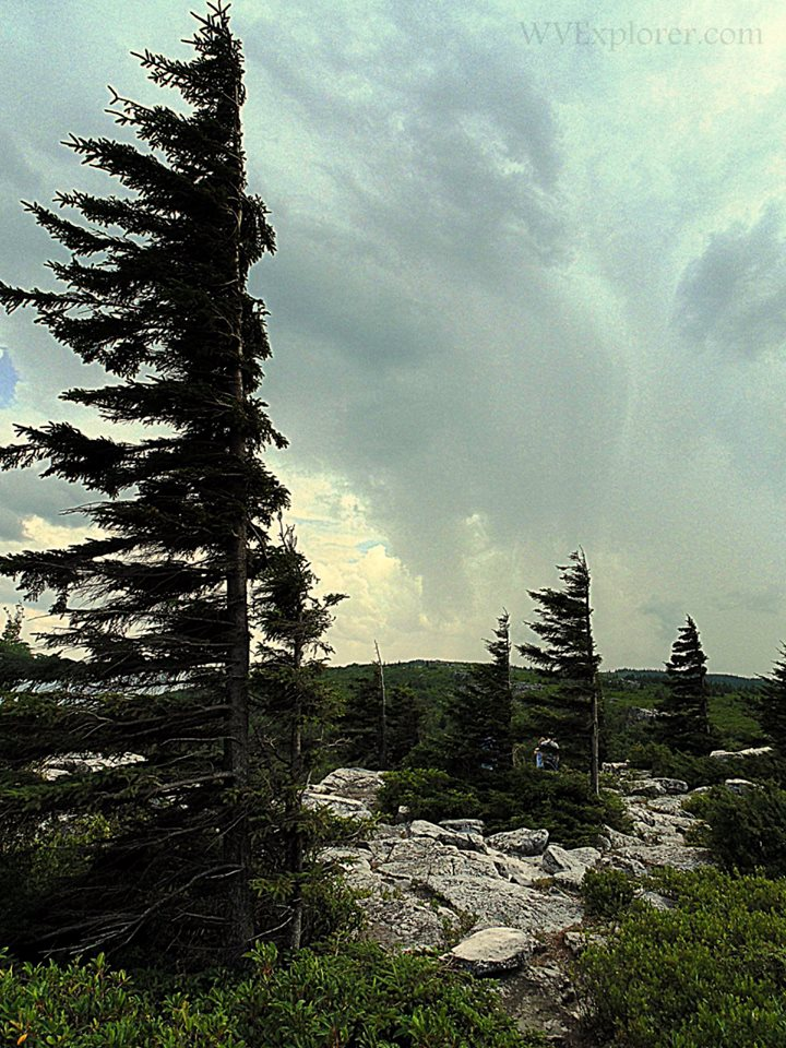 Flagged spruce on Dolly Sods