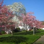 Dogwoods flower at Dunbar, WV, Kanawha County, Metro Valley Region