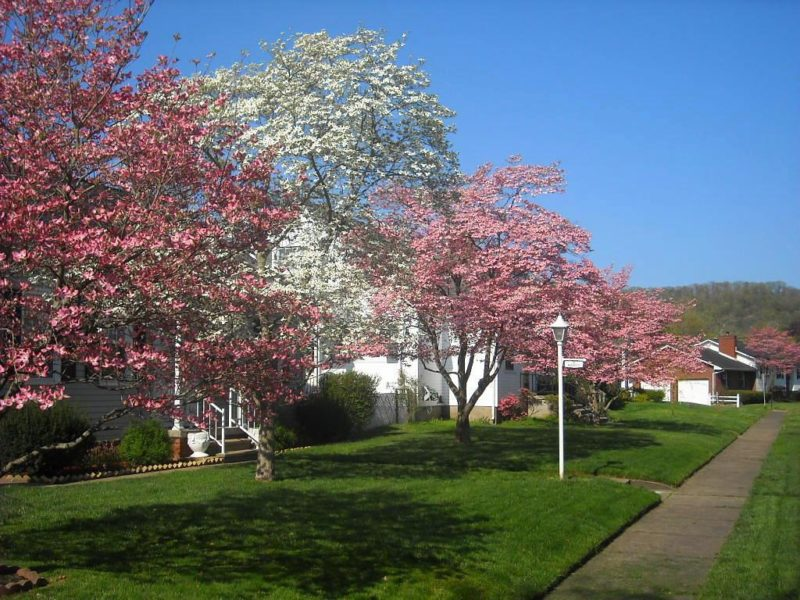 Dogwoods flower at Dunbar, West Virginia, Kanawha County, Metro Valley Region