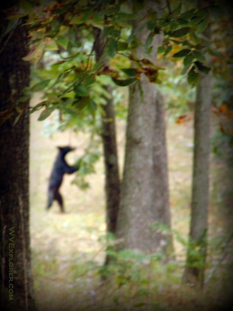 Bigfoot in West Virginia?