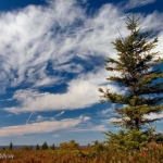Weathered Spruce on Dolly Sods, Tucker County, Allegheny Highlands Region