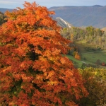 Maple in Germany Valley, Pendleton County, Potomac Branches Region