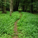 Ferny trail at Kumbrabow State Park, Huttonsville, West Virginia, Randolph County, Allegheny Highlands Region