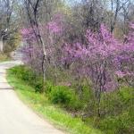 Redbud in blossom near Far, West Virginia, Wetzel County, Northern Panhandle Region