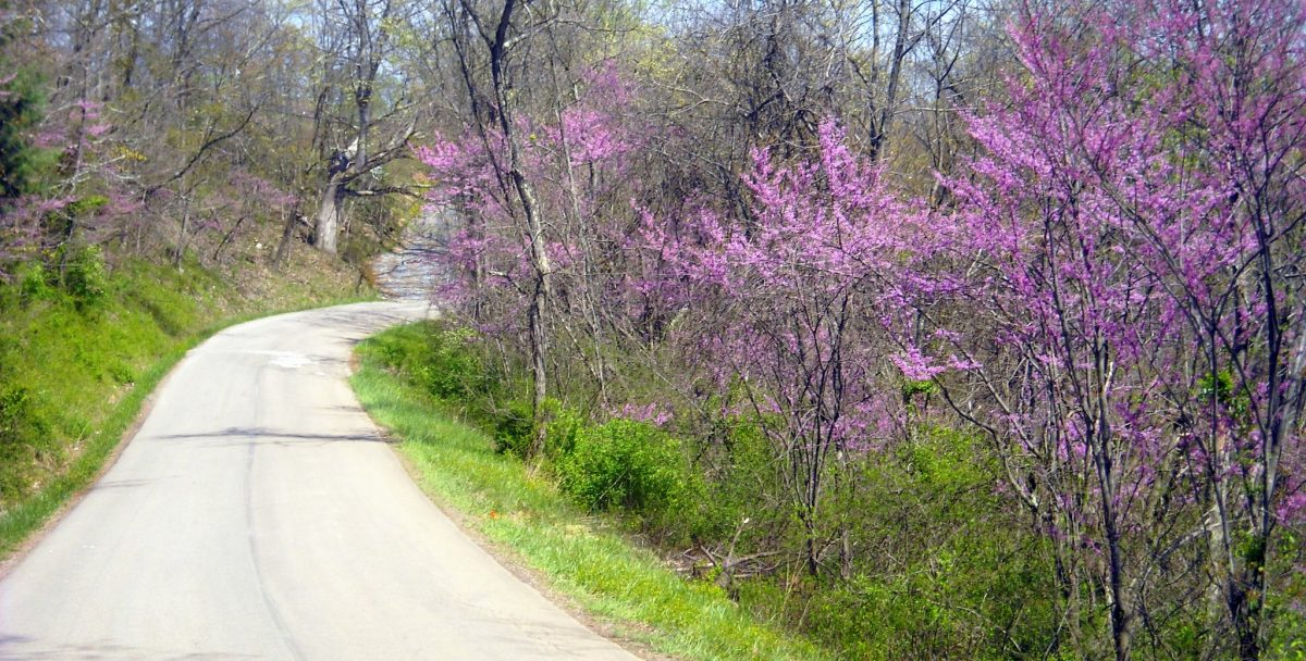 Redbud in blossom near Far, West Virginia, Wetzel County, Northern Panhandle Region