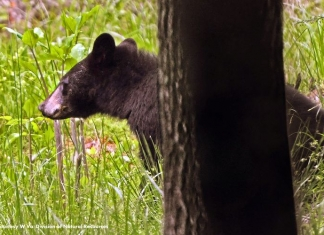 Black Bear photo courtesy West Virginia Division of Natural Resources