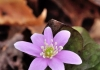 Sharp-lobed Hepatica, Stonecliff Trail, New River Gorge National River,