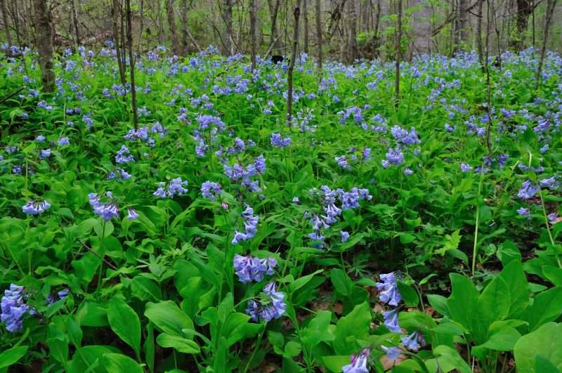 Wildflowers on Big Branch Trail, Raleigh County, New River Gorge National River