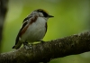 Chestnut-sided Warbler by Randy Bodkins