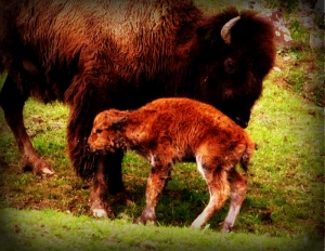 New bison calf at W.Va. Wildlife Center