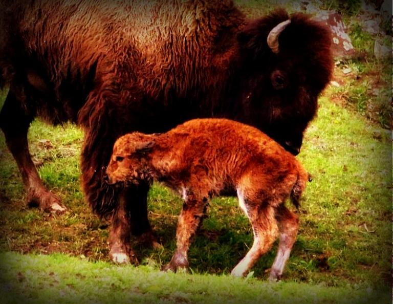 W.Va. Wildlife Center welcomes new baby bison