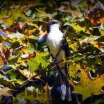 Yellow Billed Cuckoo by Randy Bodkins