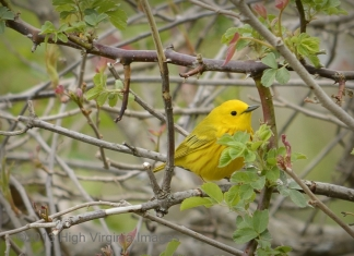 Yellow Warbler by Randy Bodkins