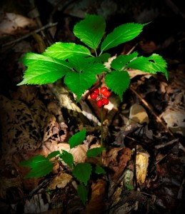 Ginseng ready for harvest in West Virginia