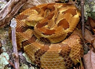 Rattlesnake in West Virginia