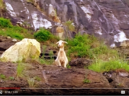 Powell Mountain Goat, Nicholas County