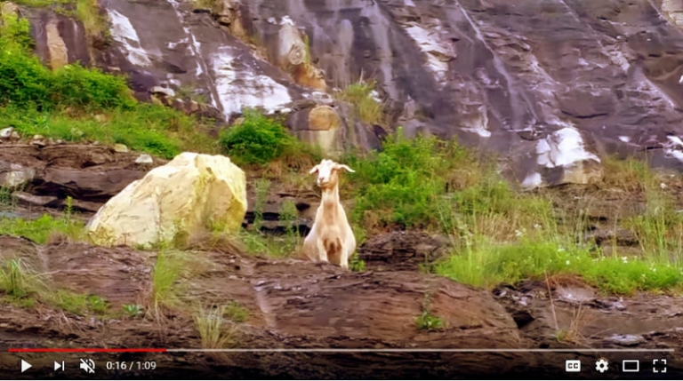 Powell Mountain Goat beloved inhabitant of central West Virginia