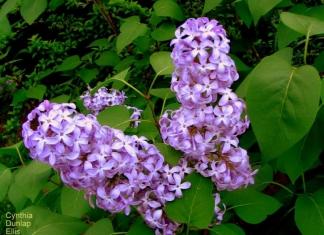 Lilacs by Cyntha Dunlap Ellis