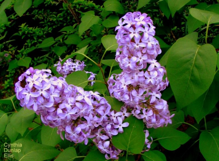 Lilacs associated with a haunting West Virginia ghost story