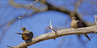 Mourning doves perch on a branch