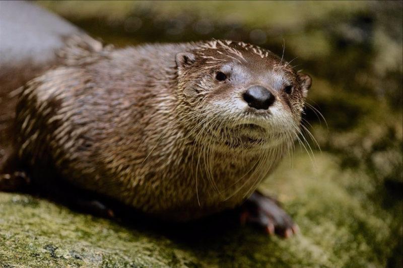 West Virginia Otter