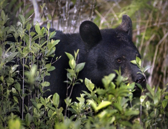 A black bear hides in a thicket in rural West Virginia