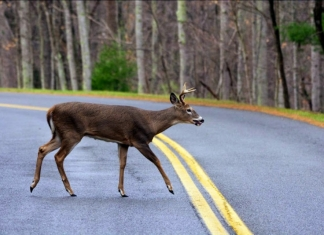 Deer crossing rural road in West Virginia