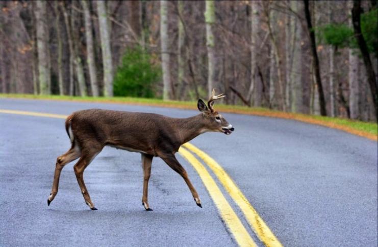 Deer crossing rural road in West Virginia