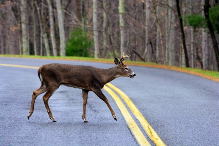 Use caution driving Oct.-Dec. in W.Va. to avoid deer collisions