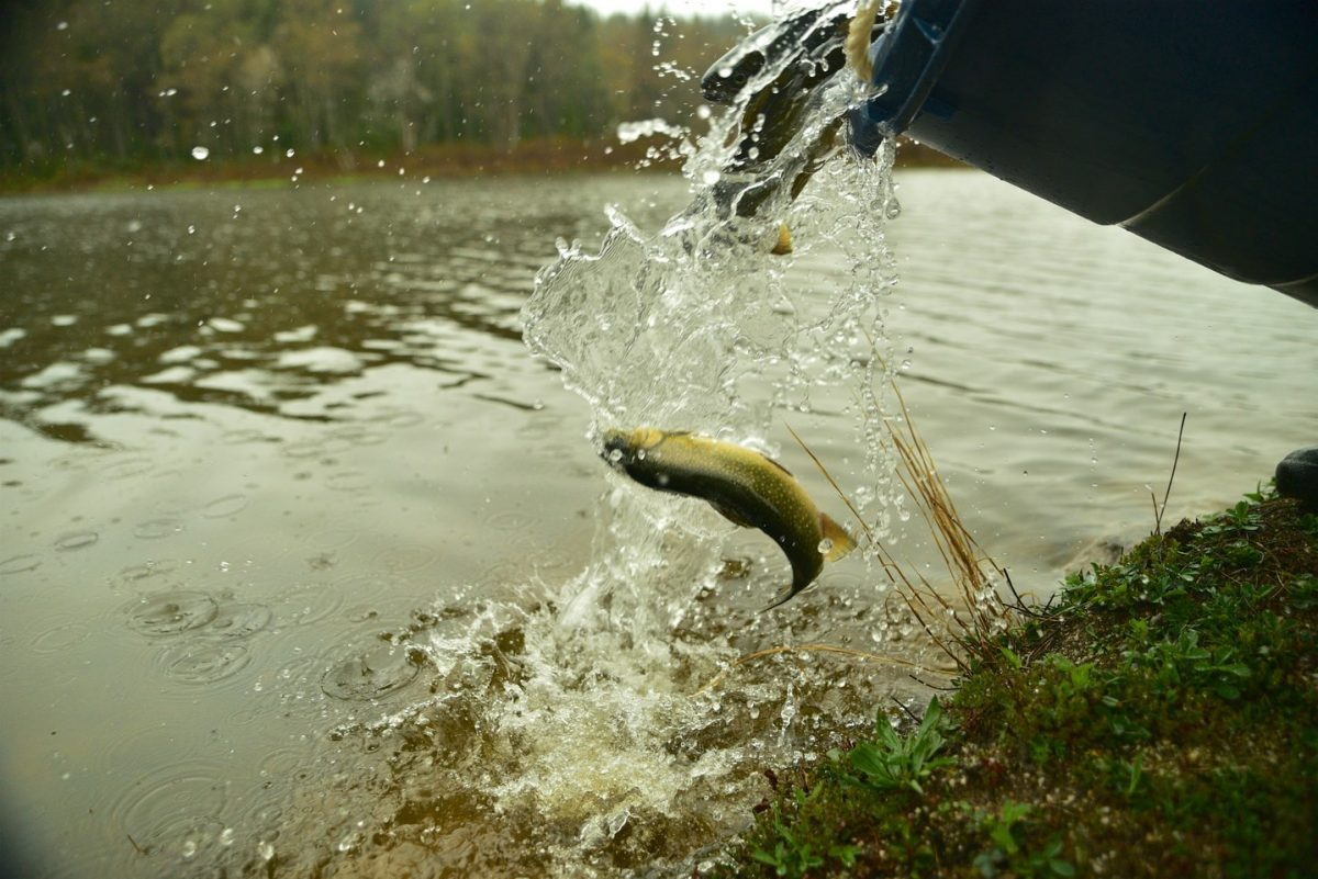 A trout is released into a West Virginia stream