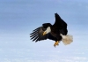 Bald eagle populations are growing in West Virginia