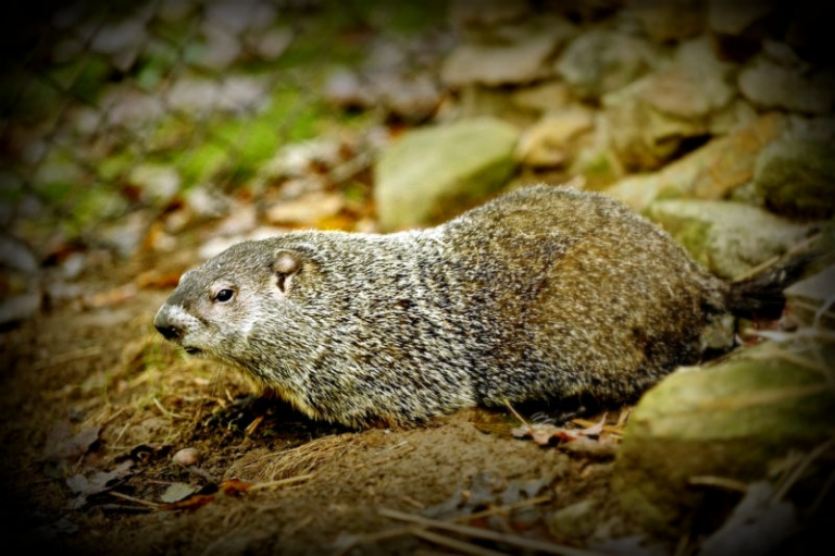 Public invited to Groundhog Day fest at W.Va. Wildlife Center