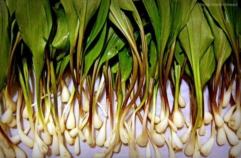 West Virginia ramps cleaned and ready to eat. Photo courtesy Barbie Watson Howard.