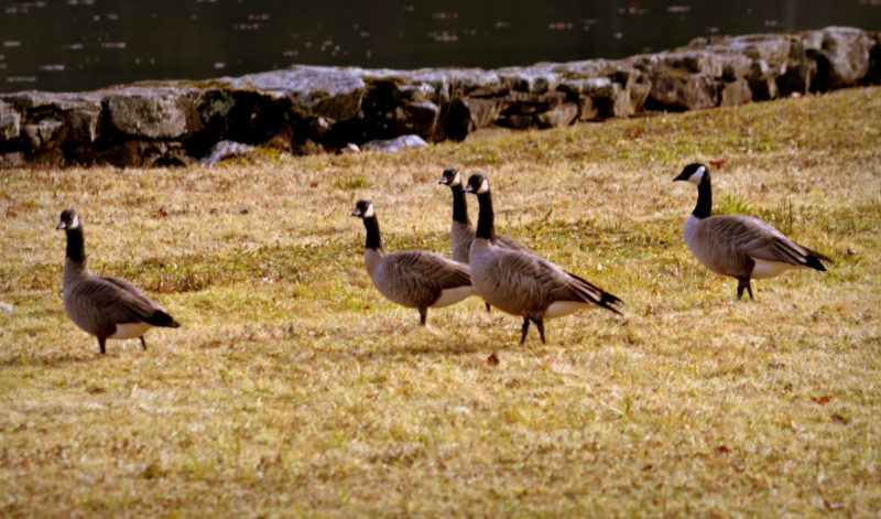Cackling Geese gather in a meadow in northern West Virginia