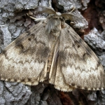 Gypsy Moth in West Virginia