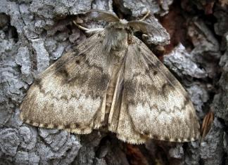 Gypsy Moth in West Virginia