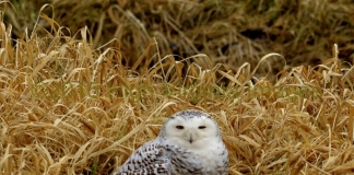A Snowy Owl crouches in grass