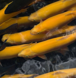Golden trout ready for stocking