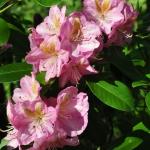 Rosebay Rhododendron in West Virginia