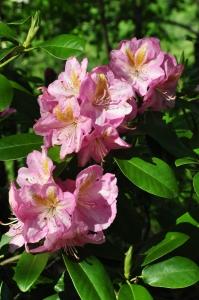 Rhododendron in W.Va. garden