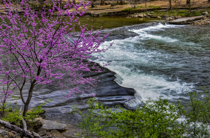 Redbud blossoms along the upper Elk River in Webster County.