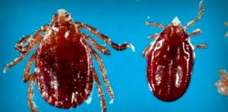 Longhorned ticks confirmed in Hardy County, W.Va.