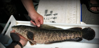 Invasive Northern Snakehead dumped in Opequon Creek according to state, federal officials.