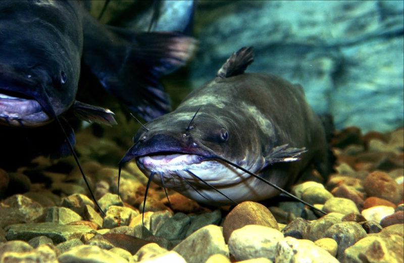 Catfish may be taken by hand in W.Va.