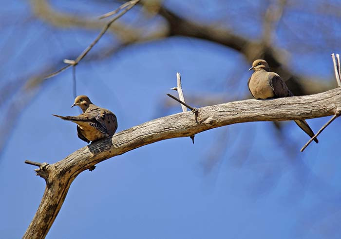Mourning Doves pair on a leafless branch in West Virginia.