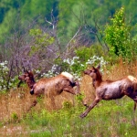 Young elk spring across a clearing in Logan County, West Virginia (WV).