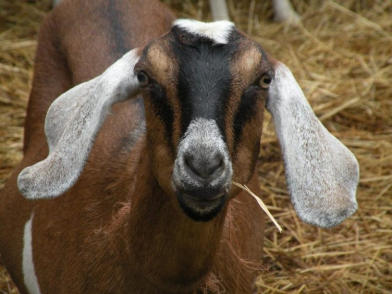 National Park Service to unleash goats on invasive plants