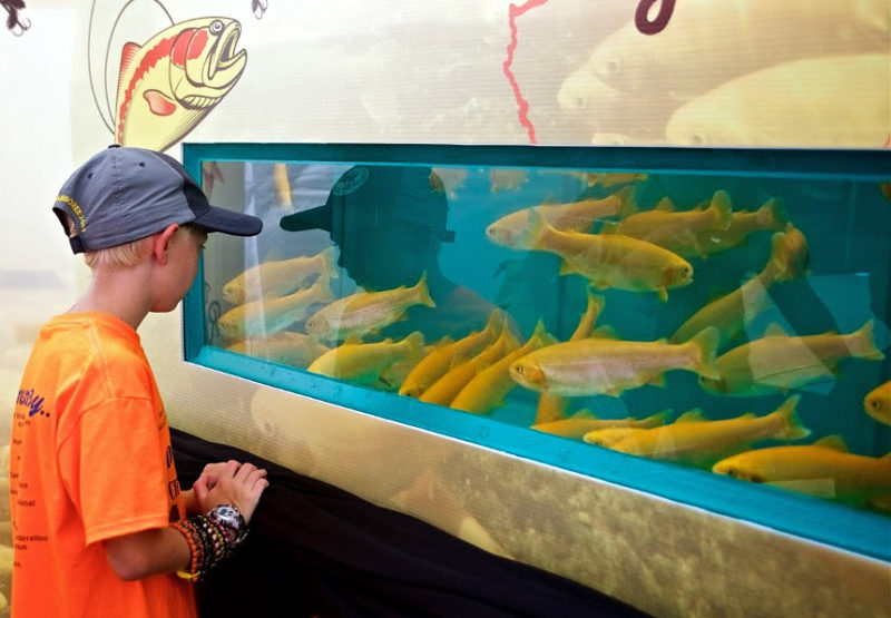 A youth watches golden trout swim at a West Virginia wildlife exhibit.
